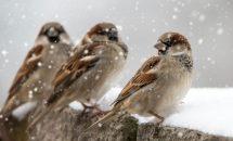 О зимующих птицах