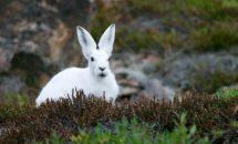Почему зайцы меняют окраску