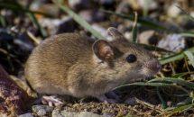 О Мышах