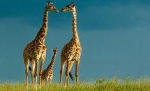 О Жирафах