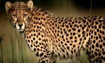 Азиатский гепард